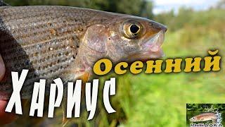 Хариус осенью Рыбалка в Ленинградской области Сентябрь 2021