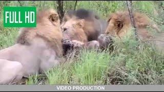 Борьба львов и гиен!!!!  борьба диких животных