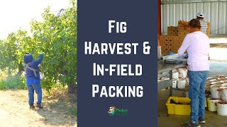 How Fresh Figs are Harvested & Packed