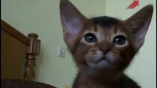 Мне нужна кошка 20 01 2015 Абиссинская кошка(Предком этой кошки считается дикая африканская кошка, обитавшая на территории Абиссинии (ныне Эфиопия)...., 2015-01-28T19:15:15.000Z)