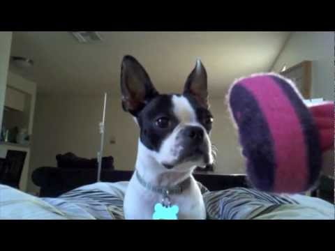 Can Small Dogs Rule? Insane Frisbee Boston Terrier