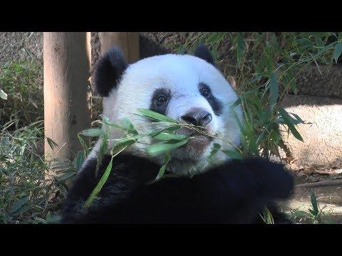 シャンシャンお食事中=上野動物園のジャイアントパンダ