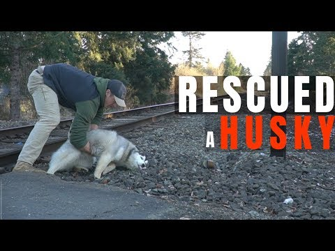 We Found a Lost Husky and Brought her Home!
