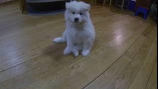Щенки самоедской собаки / Samoyed puppies