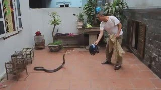 [DISCOVER VIETNAM] - Getting cobra soaked wine | Snakes wine in Vietnamese