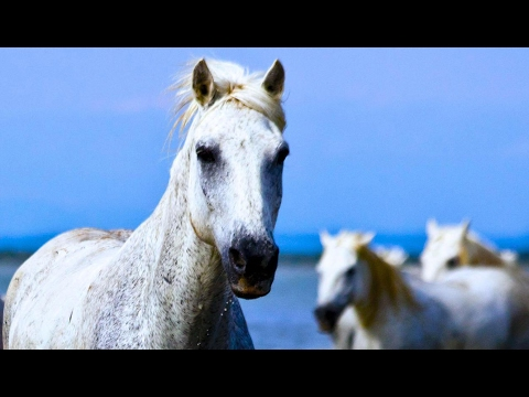 White Camargue horse | Doovi