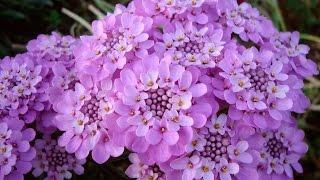 видео Иберис: фото, вечнозеленый, зонтичный, многолетний, гибралтарский, выращивание из семян, посадка и уход в открытом грунте
