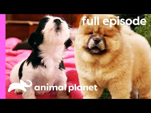 Chow Chow, Rhodesian Ridgeback, and Havanese Puppies | Too Cute! (Full Episode)