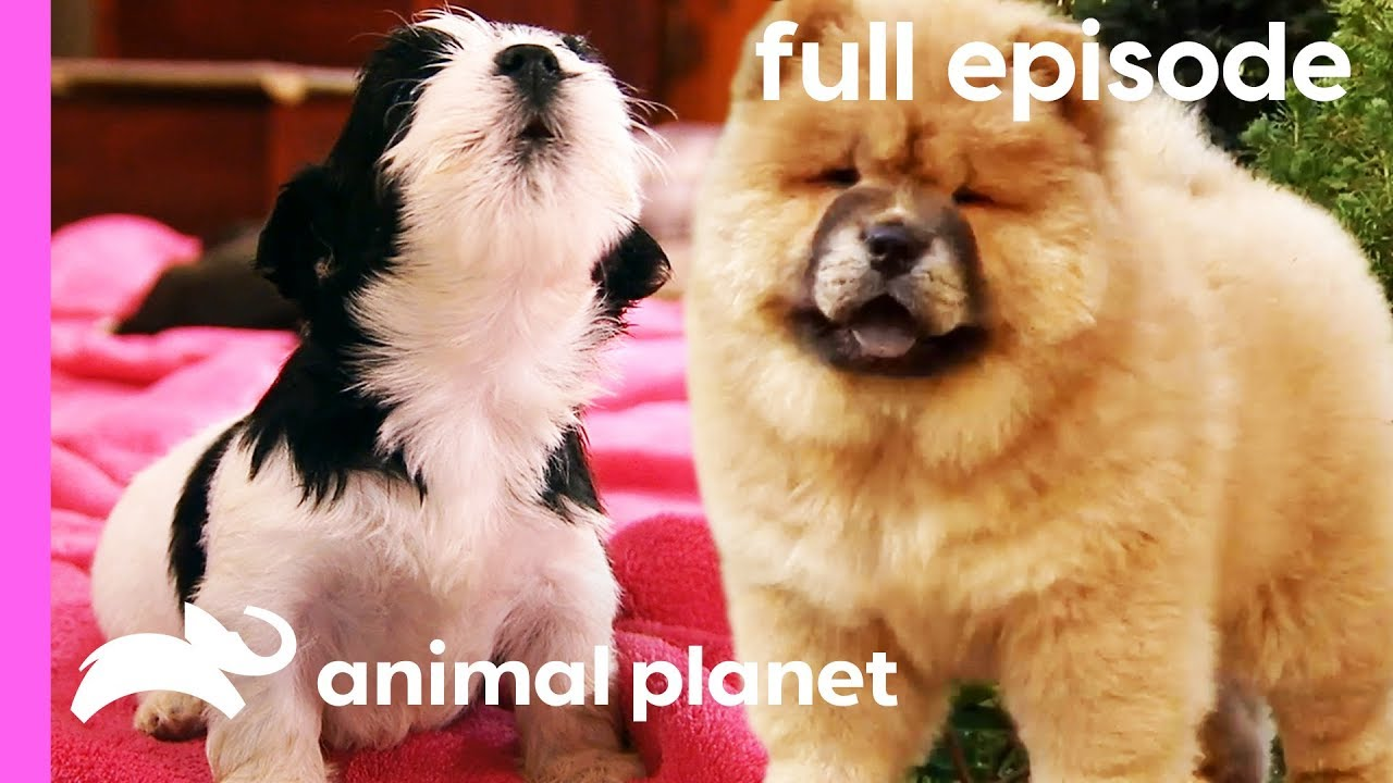 Chow Chow Rhodesian Ridgeback And Havanese Puppies Too Cute Full Episode
