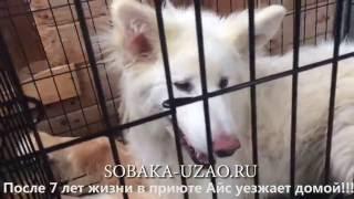 АЙС дикая собака из приюта Щербинка,живущая в приюте СЕМЬ ЛЕТ уезжает домой!SOBAKA-UZAO.RU