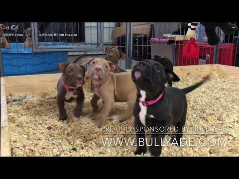 DARK DYNASTY KENNELS X MANMADE KENNELS; World Famous Hulk Pitbull Meets ManMade's