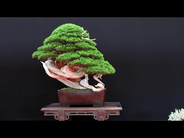 The most beautiful Bonsai trees