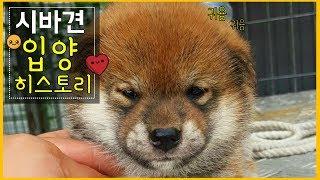 시바견(shibainu)_ 곰이 시바견 입양 이야기
