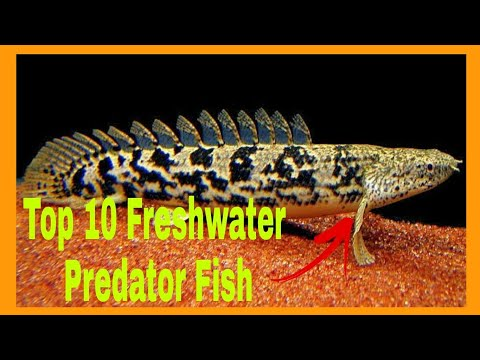 Top 10 Freshwater Predator Fish For Your Aquarium