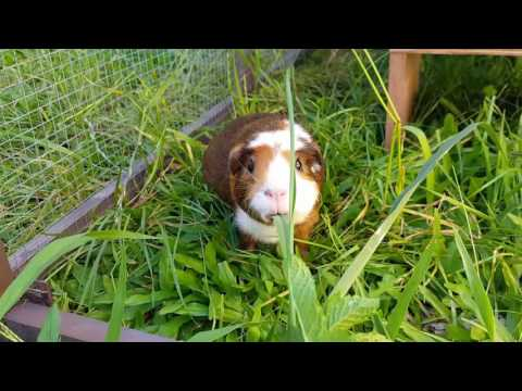 Guinea pig grass time