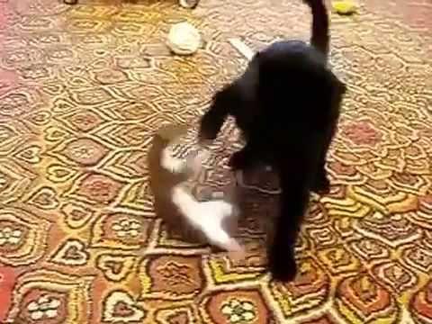 Stoat Cat  YouTube