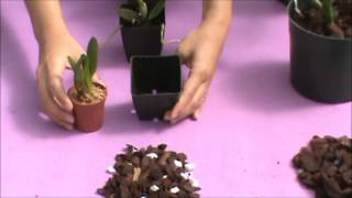 Understanding Orchid Media Types (Stages of Growth) - Akatsuka Orchid Gardens
