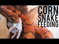 Corn Snake Feeding. The Difference between Live and Frozen Thawed.