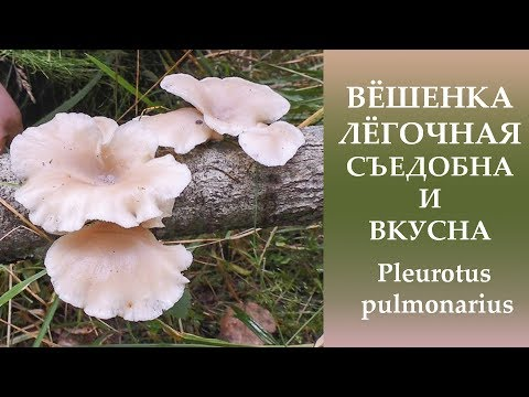 гриб вешенка в вологде