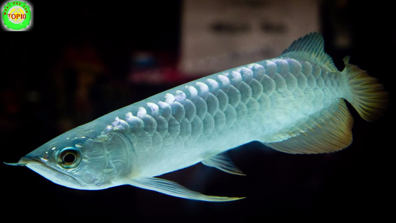 10 of the most expensive tropical fish youtube for Most expensive saltwater fish