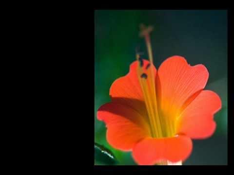 Cancion para una flor - PUTUMAYO
