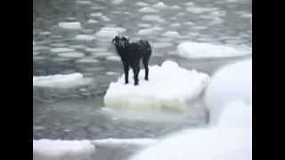 Dog Being Rescued from Ice