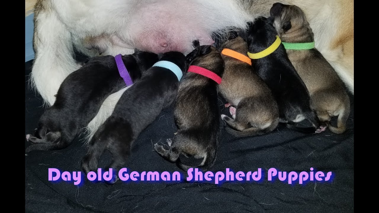 1 Day Old German Shepherd Puppies Ahsokas First Litter Youtube