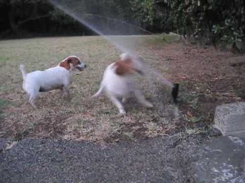 2 Jack Russell Terrier dogs vs. Sprinklers , fighting