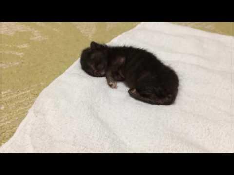 子猫を保護しました。初日。I protected the kittens. first day.『保護猫るる らら物語』