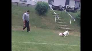 Собака крута играет Футбол