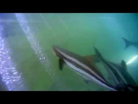 COBIA Fish FARMING
