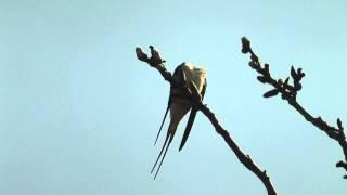 Vlaštovka obecná - Hirundo rustica - Barn Swallow - Rauchschwalbe - Golondrina común