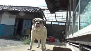 松村に餌をもらうセントバーナード犬。体は大きいのに懐こくって可愛い...