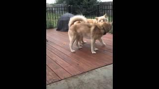 Jealous Siberian Husky Plays With Samoyed Mix