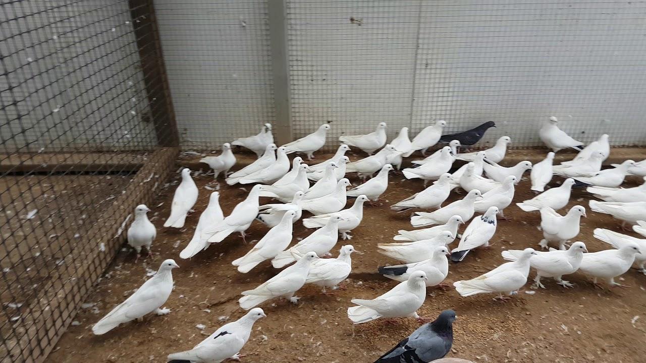 холодных поясные бакинские голуби фото насколько понимаю, продолжаете