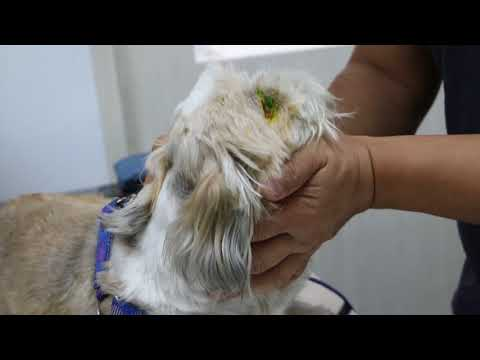 An old Shih Tzu has dry eyes