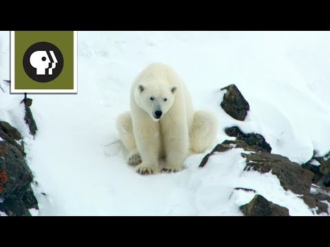 Polar Bear Mom Creates Avalanche to Save Family