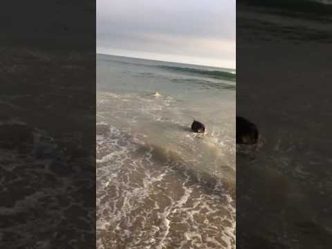 Leo the Labrador Retriever bodysurfing dog gets barreled at Arroyo Burro beach Santa Barbara