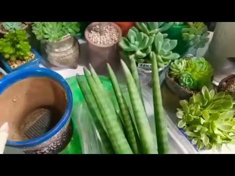실내 공기정화식물 미세먼지제거 스투키분갈이
