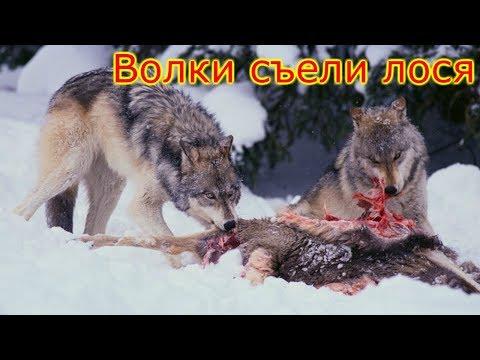 Волки съели лося.