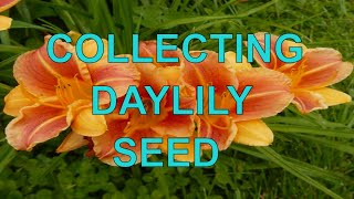 Ep. 350 Collecting-Saving-Storing Daylily Seeds