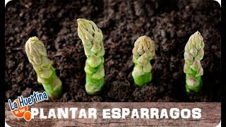 Como Plantar Espárragos En El Huerto || La Huertina De Toni