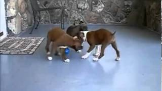"Akc Boxer Male Mahogany ""clifford"" Ch Lines"