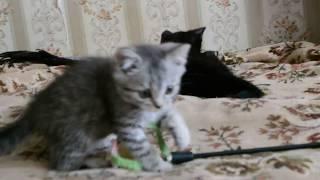 Купить шотландского котенка. Котята для Вас: шотландские котята черного и пятнистого окрасов.