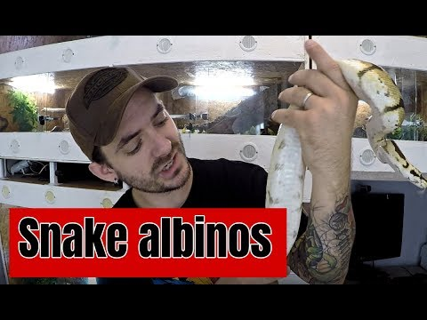 ATTAQUE de serpent et serpent ALBINOS !