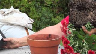 How to Plant Mums in Both Sun & Shade : Gardening With Mums