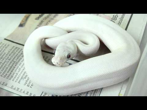 LEUCISTIC BALL PYTHON FEMALE-beautiful snake
