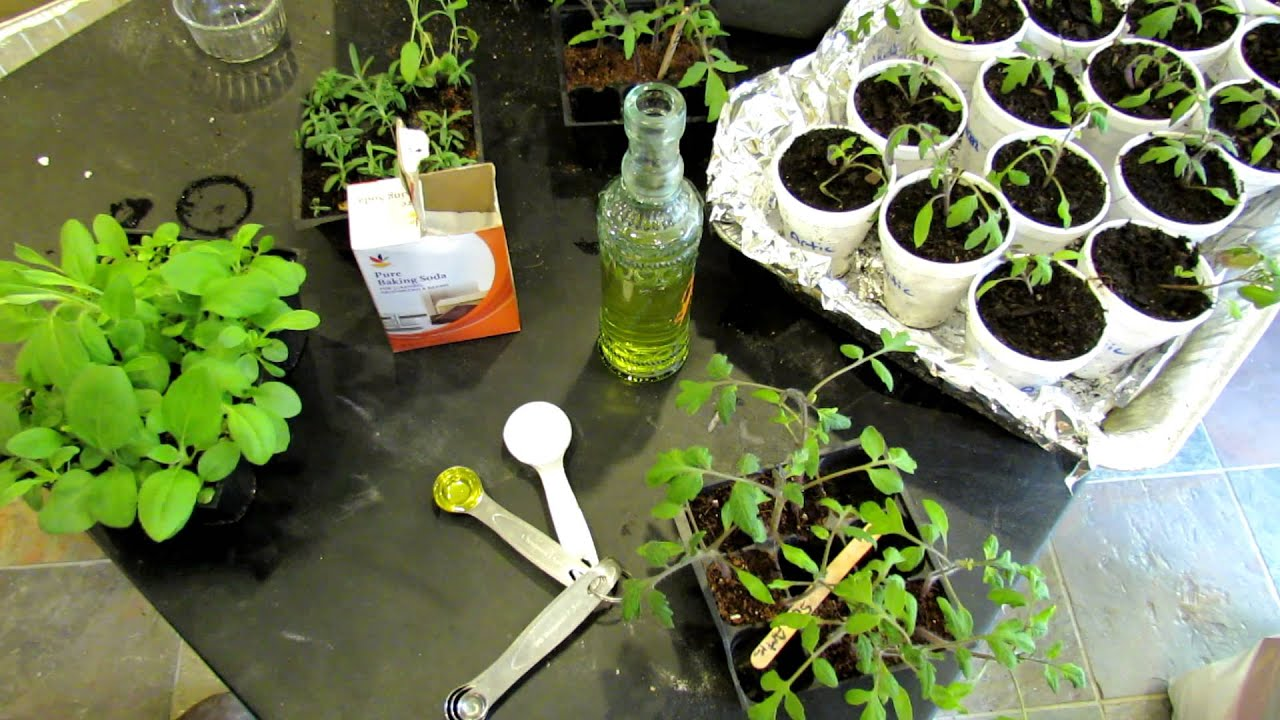 60 seconds or sow how to use baking soda to fight powdery mildew the rusted garden 2013 youtube. Black Bedroom Furniture Sets. Home Design Ideas