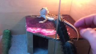 My bearded dragon don't eat any vegetables please help!
