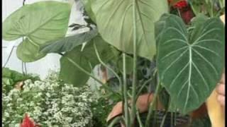 Gardening Plant Care : Alocasia Plant Care